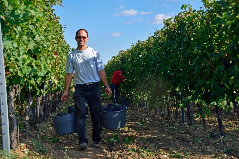 Bild von Traubenlese im Weingarten