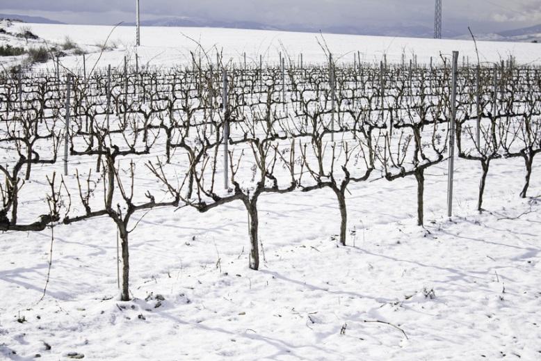 Bild aus dem Weingarten vor dem Rebschnitt im Winter